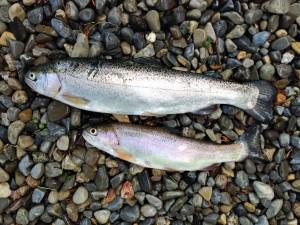 trout-5-17-14
